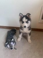 Siberian Husky Puppies for sale in Westminster, CO 80030, USA. price: NA