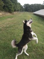 Siberian Husky Puppies for sale in South West Township, MO, USA. price: NA