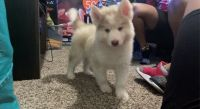 Siberian Husky Puppies for sale in Norman, OK, USA. price: NA