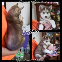 Siberian Husky Puppies for sale in Bloomfield, IN 47424, USA. price: NA