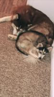 Siberian Husky Puppies for sale in Gainesville, FL, USA. price: NA