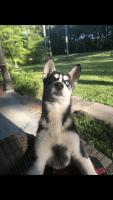 Siberian Husky Puppies for sale in Rome, GA, USA. price: NA