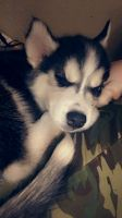 Siberian Husky Puppies for sale in Mesa, AZ, USA. price: NA