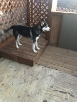Siberian Husky Puppies for sale in Denver, CO 80215, USA. price: NA