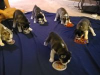 Siberian Husky Puppies for sale in Jacksonville, FL, USA. price: NA