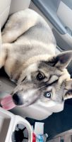 Siberian Husky Puppies for sale in Huntsville, AL, USA. price: NA