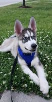 Siberian Husky Puppies for sale in Hampton, VA 23669, USA. price: NA