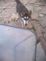 Siberian Husky Puppies for sale in Columbus, OH, USA. price: NA