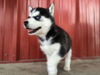 Siberian Husky Puppies for sale in Los Angeles, CA, USA. price: NA