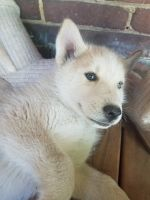 Siberian Husky Puppies for sale in Waynesboro, PA 17268, USA. price: NA