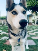 Siberian Husky Puppies for sale in Garden Grove, CA, USA. price: NA