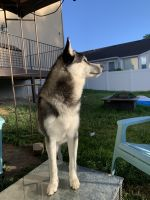 Siberian Husky Puppies for sale in West Jordan, UT, USA. price: NA