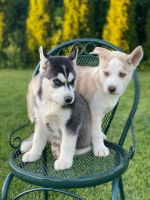 Siberian Husky Puppies for sale in Lynnwood, WA 98087, USA. price: NA