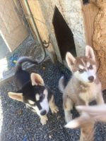 Siberian Husky Puppies for sale in Kennewick, WA, USA. price: NA