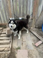 Siberian Husky Puppies for sale in Blackfoot, ID 83221, USA. price: NA
