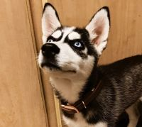 Siberian Husky Puppies for sale in Los Angeles County, CA, USA. price: NA