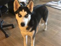 Siberian Husky Puppies for sale in Laurel, MD, USA. price: NA