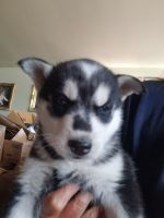 Siberian Husky Puppies for sale in Gillette, WY, USA. price: NA