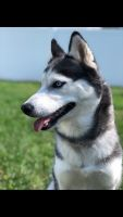 Siberian Husky Puppies for sale in Scotch Plains, NJ 07076, USA. price: NA