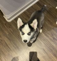 Siberian Husky Puppies for sale in San Antonio, TX 78249, USA. price: NA