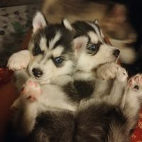 Siberian Husky Puppies for sale in Denver, CO, USA. price: NA