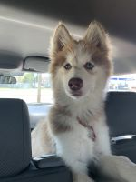 Siberian Husky Puppies for sale in Manteca, CA 95336, USA. price: NA