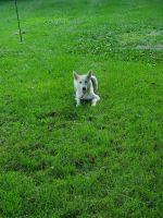 Siberian Husky Puppies for sale in Geneseo, IL 61254, USA. price: NA