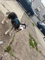 Siberian Husky Puppies for sale in Philadelphia, PA, USA. price: NA