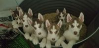 Siberian Husky Puppies for sale in Kalamazoo, MI, USA. price: NA