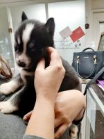 Siberian Husky Puppies for sale in Virginia Beach, VA 23464, USA. price: NA