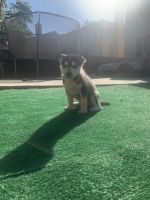 Siberian Husky Puppies for sale in Perris, CA, USA. price: NA