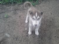 Siberian Husky Puppies for sale in Ober, IN 46534, USA. price: NA