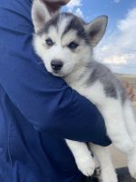 Siberian Husky Puppies for sale in Reno, NV, USA. price: NA