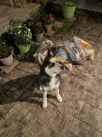 Siberian Husky Puppies for sale in Terrell, TX, USA. price: NA