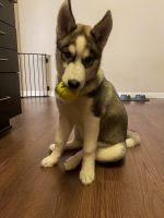 Siberian Husky Puppies for sale in Fayetteville, NC 28303, USA. price: NA