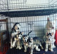 Siberian Husky Puppies for sale in Hollywood, FL, USA. price: NA