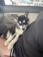 Siberian Husky Puppies for sale in Sikeston, MO 63801, USA. price: NA