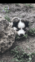 Siberian Husky Puppies for sale in Quemado, TX 78877, USA. price: NA