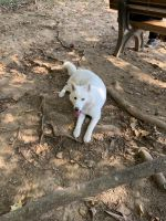 Siberian Husky Puppies for sale in Bloomington, IN, USA. price: NA