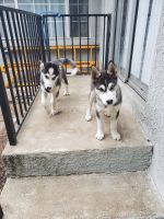 Siberian Husky Puppies for sale in Covina, CA 91722, USA. price: NA