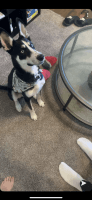 Siberian Husky Puppies for sale in Glendale, AZ, USA. price: NA