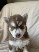 Siberian Husky Puppies for sale in Graham, NC, USA. price: NA