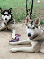 Siberian Husky Puppies for sale in Colorado Springs, CO 80910, USA. price: NA