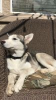 Siberian Husky Puppies for sale in Sacramento, CA, USA. price: NA