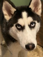 Siberian Husky Puppies for sale in Loogootee, IN 47553, USA. price: NA