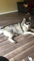 Siberian Husky Puppies for sale in Grovetown, GA 30813, USA. price: NA