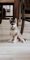 Siberian Husky Puppies for sale in South Brunswick Township, NJ, USA. price: NA