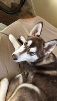 Siberian Husky Puppies for sale in Albuquerque, NM, USA. price: NA