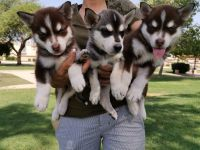 Siberian Husky Puppies for sale in Oceanside, CA, USA. price: NA