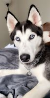 Siberian Husky Puppies for sale in 4942 Valley Crest Dr, Midlothian, VA 23112, USA. price: NA